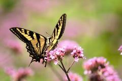 Borboleta de Oregon Swallowtail no verão 1 fotografia de stock