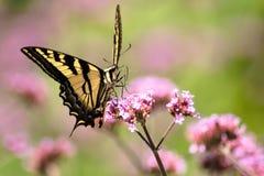 Borboleta de Oregon Swallowtail no verão 2 fotografia de stock royalty free
