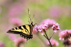 Borboleta de Oregon Swallowtail no verão 3 imagem de stock royalty free