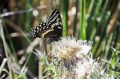 Borboleta de Palamedes Swallowtail na flor do cardo fotos de stock