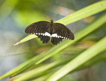 Borboleta de Papilio Polytes foto de stock royalty free