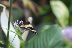 Borboleta de Papilio spp Foto de Stock