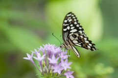 Borboleta de Papilio spp Imagens de Stock Royalty Free