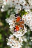 Borboleta de pavão Aglais io nas flores brancas de um fruto t Fotos de Stock