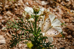 Borboleta de pavão branca na flor branca, deserto de Sonoran Fotografia de Stock Royalty Free