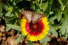 Borboleta de pavão branca na flor geral de Gaillarda Imagens de Stock Royalty Free