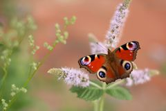 Borboleta de pavão colorida maravilhosa que empoleira-se na flor cor-de-rosa foto de stock