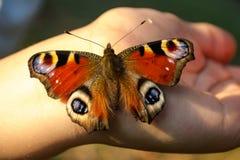 Borboleta de pavão colorida que senta-se em uma mão Imagens de Stock