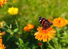 Borboleta de pavão em uma flor Fotos de Stock