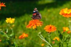 Borboleta de pavão em uma flor Fotografia de Stock Royalty Free