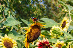 Borboleta de pavão em uma flor Fotografia de Stock