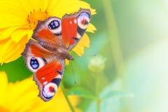 Borboleta de pavão em uma flor amarela da camomila em um fundo do jardim verde no borrão, iluminado pela luz solar com fotos de stock