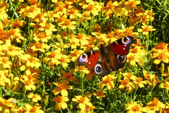Borboleta de pavão na massa de flores amarelas Fotos de Stock