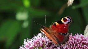 Borboleta de pavão que alimenta no néctar de uma flor da hortelã de água durante julho em scotland filme