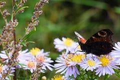 A borboleta de pavão que senta-se em uma flor Foto de Stock Royalty Free