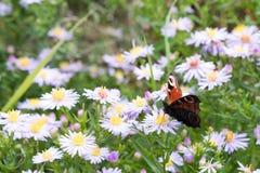 A borboleta de pavão que senta-se em uma flor Foto de Stock