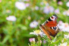 A borboleta de pavão que senta-se em uma flor Imagens de Stock