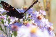 A borboleta de pavão que senta-se em uma flor Fotografia de Stock Royalty Free