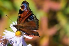 A borboleta de pavão que senta-se em uma flor Imagem de Stock
