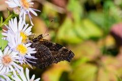 A borboleta de pavão que senta-se em uma flor Fotografia de Stock