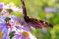 A borboleta de pavão que senta-se em uma flor Fotos de Stock Royalty Free