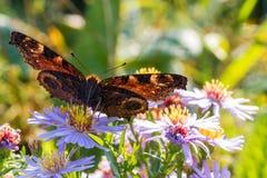 A borboleta de pavão que senta-se em uma flor Imagens de Stock Royalty Free