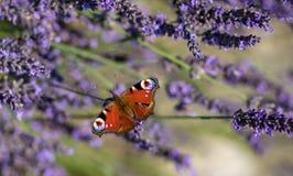 Borboleta de pavão que senta-se na alfazema violeta imagem de stock royalty free