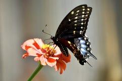 Borboleta de Pipevine Swallowtail foto de stock