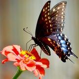 Borboleta de Pipevine Swallowtail fotografia de stock