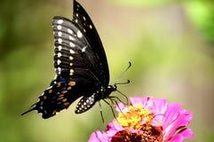 Borboleta de Pipevine Swallowtail foto de stock royalty free