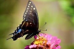 Borboleta de Pipevine Swallowtail fotografia de stock royalty free