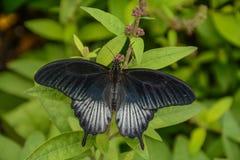 Borboleta de Pipevine Swallowtail em uma planta fotografia de stock