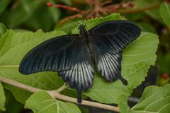 Borboleta de Pipevine Swallowtail em uma planta imagens de stock