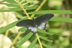 Borboleta de Pipevine Swallowtail na folha verde em um jardim fotos de stock royalty free