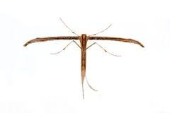 Borboleta de Pterophoridae em um fundo branco Fotos de Stock