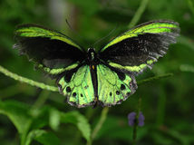 Borboleta de Richmond Birdwing Fotografia de Stock