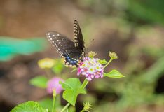 Borboleta de Spicebrush Swallowtail imagem de stock royalty free