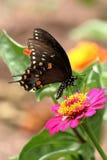 Borboleta de Spicebush Swallowtail fotos de stock royalty free