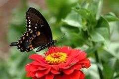 Borboleta de Spicebush Swallowtail fotografia de stock royalty free