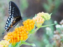 Borboleta de Spicebush Swallowtail fotografia de stock