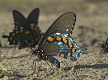 Borboleta de Spicebush Swallowtail imagem de stock royalty free
