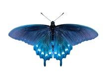 Borboleta de Swallowtail fotografia de stock