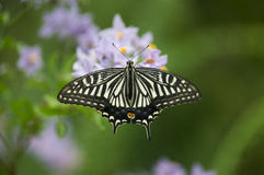 Borboleta de Swallowtail   foto de stock royalty free