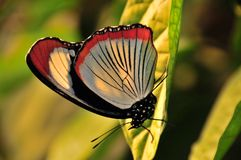 Borboleta de Swallowtail fotografia de stock royalty free