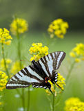 Borboleta de Swallowtail da zebra fotografia de stock