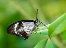 Borboleta de Swallowtail do africano imagem de stock royalty free