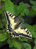 Borboleta de Swallowtail do europeu fotografia de stock