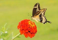 Borboleta de Swallowtail do gigante que alimenta em uma flor alaranjada do Zinnia imagem de stock