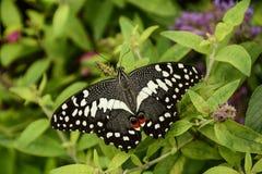 Borboleta de Swallowtail do pomar em uma planta de jardim fotos de stock