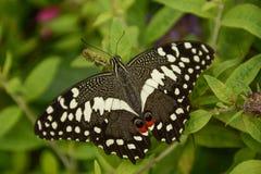 Borboleta de Swallowtail do pomar em uma planta de jardim foto de stock